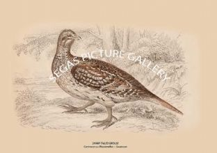 SHARP-TAILED GROUSE = Centrocercus Phasianellus -- Swainson